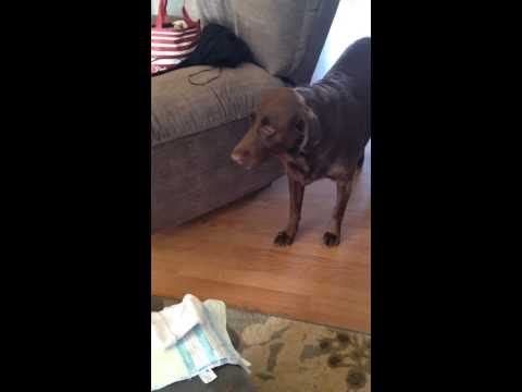 Dog's reaction to his baby sister's arrival