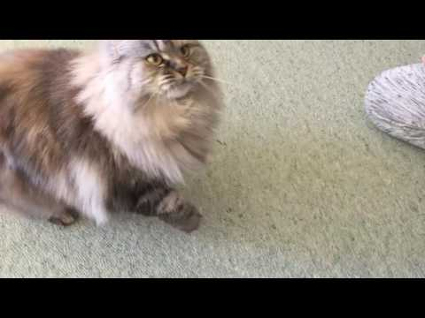 How To Train Your Cat - Tricks by Polly