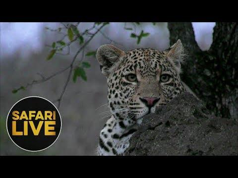 safariLIVE - Sunrise Safari - August 19, 2018