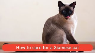 How to care for a Siamese cat    How to take care a Siamese cat