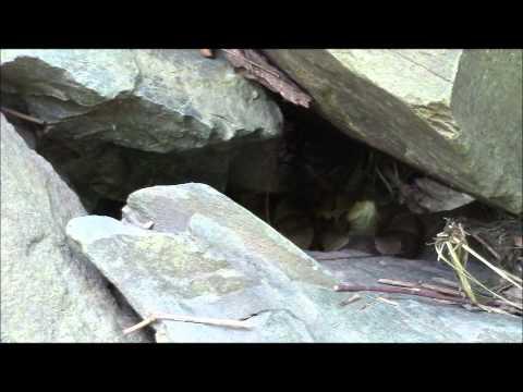 Herping with Aidan: Northern Copperhead (Agkistrodon contortrix mokasen)