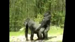 Обезьяны приколы  Смешные видео(, 2013-08-19T14:04:56.000Z)