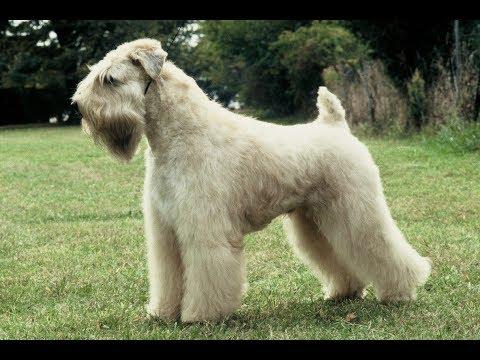 Terrier Irlandés de Manto Suave color trigo / Raza de Perro