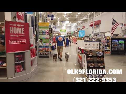 """1 Year Old Mini Australian Shepherds """"Oliver"""" and """"Joey""""/ Dog Trainer/ Orlando Dog Trainer"""