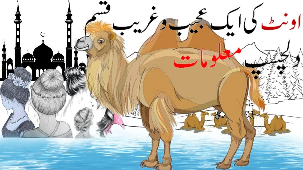 A Strange kind of Camel   Interesting Facts About camels   Hidden Secrets