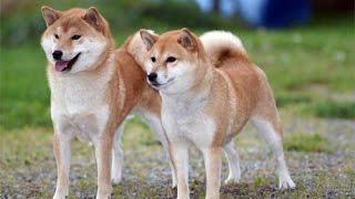 Quốc khuyển Nhật Bản - chó Shiba và Akita