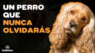 COCKER SPANIEL INGLÉS: 9 COSAS que debes saber