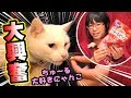 【はじめての】ちゅ~るビッツで猫大興奮!【ねこ屋敷】
