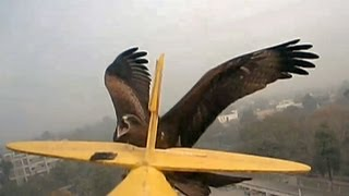 Furious Hawks Everywhere Swoop Down on RC plane GWS Tiger Moth