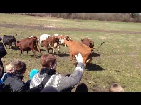 """Danish attraction - """"Dancing Cows"""" (Øko-dag)"""