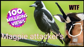 Magpie attacks at the park