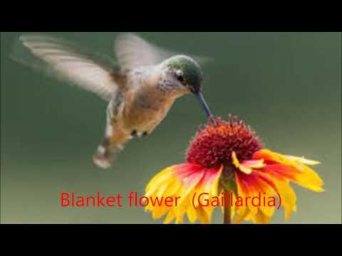 Plants that feed bees, butterflies, and hummingbirds: blanket flower (Gaillardia)