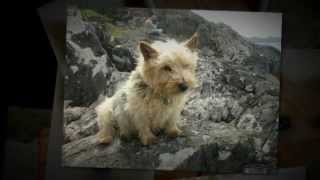 Norwich Terrier Training