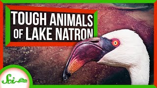 The Unbelievably Tough Animals of Lake Natron