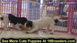 Malti Tzu, Puppies, For, Sale, In, Badger, County, Alaska, Ak, Kink Fairview, College
