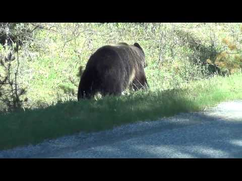 First Grizzly Bear encounter near Banff June 2017