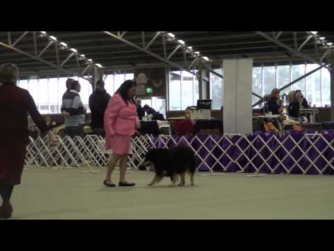 FLCV Inaugural Finnish Lapphund Champ Show - Austrailan Bred Dog