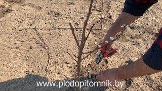 ОБРЕЗКА абрикоса. КАК обрезать абрикосы весной после посадки.