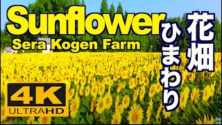 Sunflower's Garden - �K���̎�