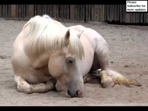 American Cream Draft Horse | Picture Collection Of Horses