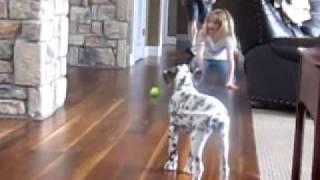Summit Dalmatian Puppies, Woodrow, 12 Weeks, Playing Fetch
