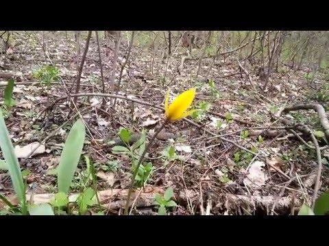 Тюльпаны лесные желтые