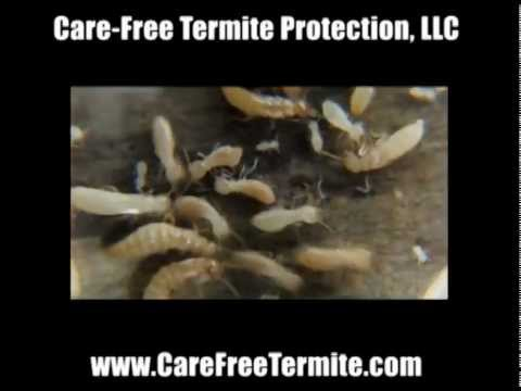 What do termites look like? Is it a flying ant or termite?