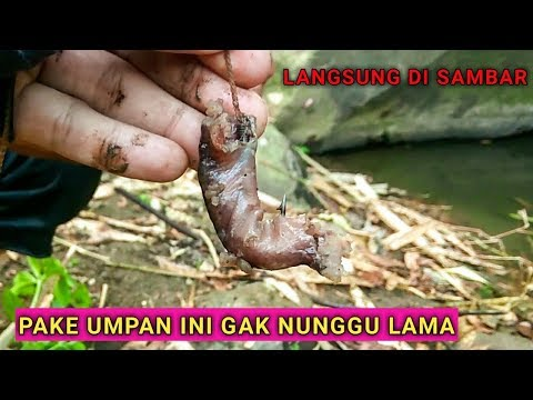 UMPAN AMPUH BUAT MANCING SIDAT | Traditional Fishing