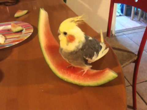 Cockatiel eating watermelon youtube for What parts of a watermelon can you eat