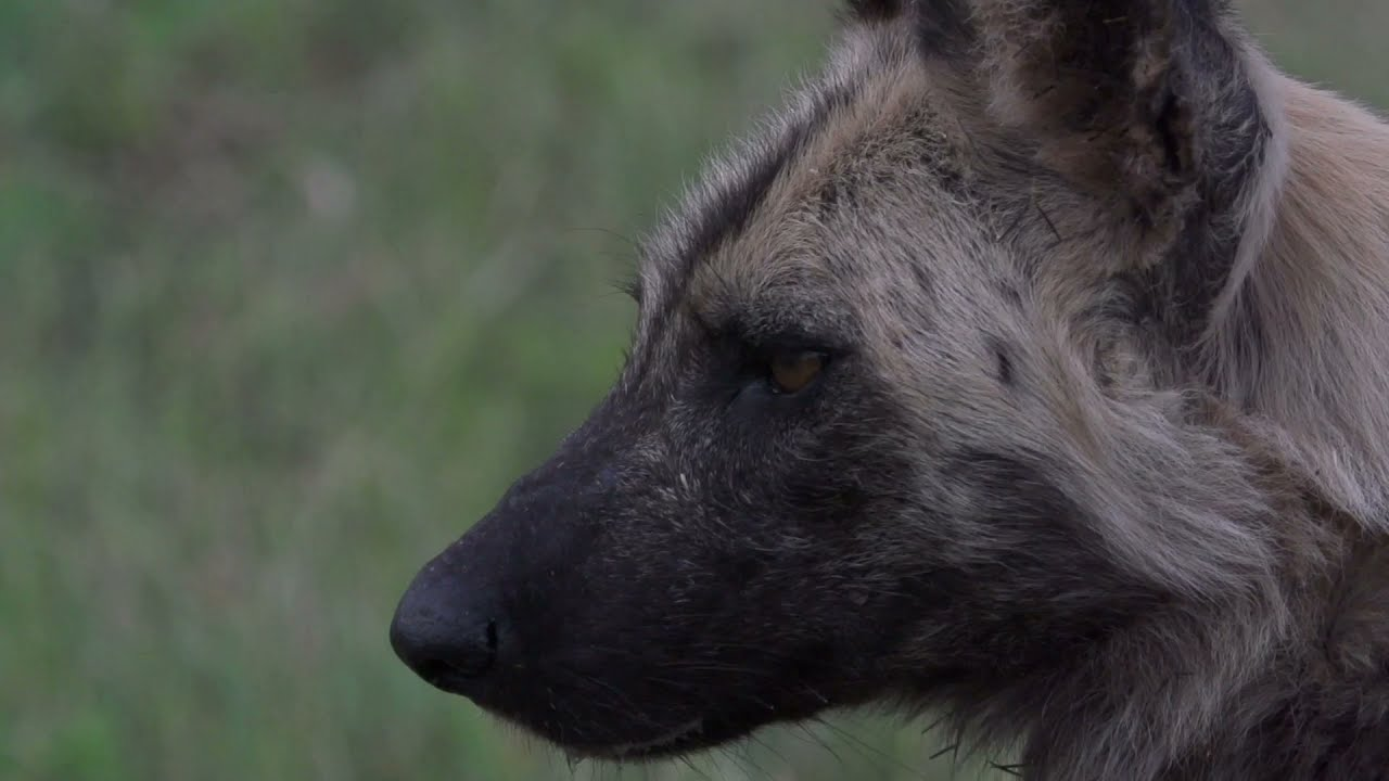 African Painted Dogs Released onto Hluhluwe-iMfolozi Park with Wildlife ACT and Ezemvelo 2021