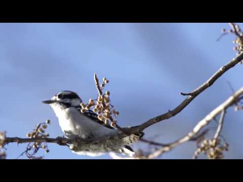 Troy Meadows   Downy Woodpecker and Chipping Sparrow