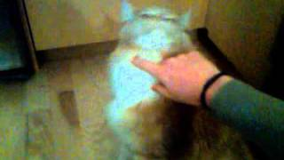 Buddy the Maine Coon cat tries to open the fridge