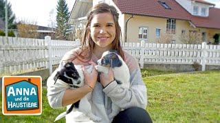 Jack Russell Terrier | Information für Kinder | Anna und die Haustiere