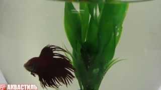 Рыбка Петушок Корона или Бойцовая рыбка в круглом аквариуме. Аквариумные рыбки. Аквариумистика.