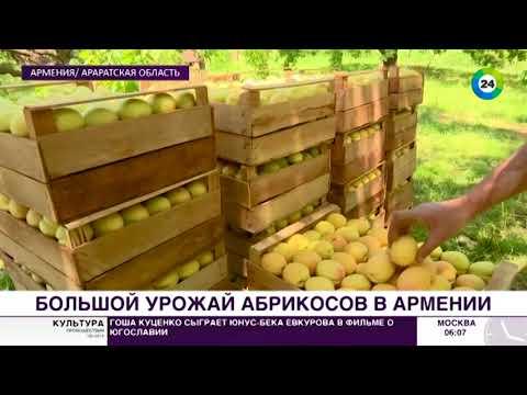 Путь армянского абрикоса: от ветки к прилавку