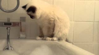 Cute birman kitten sharing the bath