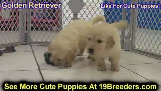 Golden Retriever, Puppies , For, Sale, In Staten Island, New York, Ny, Brooklyn, County, Borough