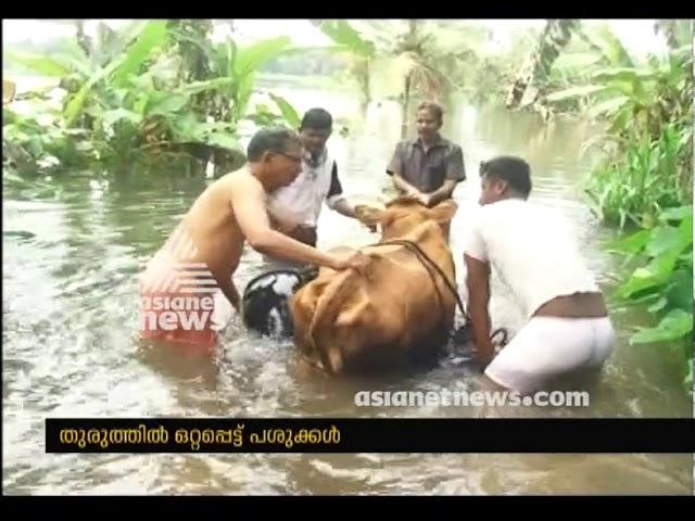 Cow Stuck in Flood - കനത്ത മഴയില് തുരുത്തില് ഒറ്റപ്പെട്ട്  ഫാമിലെ പശുക്കള്