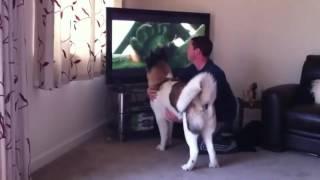 Собака защищает хозяйна от медведя из телевизора :-)))