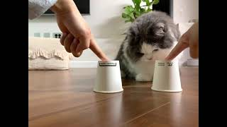 Cat Plays Find the Treat Under the Right Cup