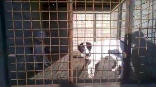 Питомник  бойцовских собак