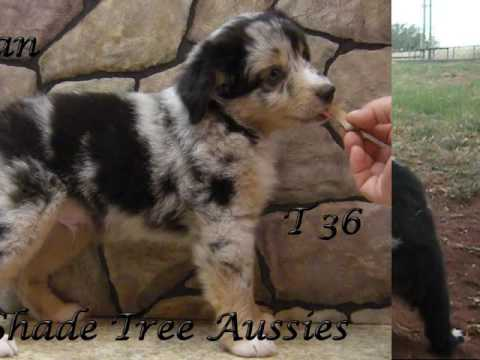 Shade Tree Aussies - Toy and Mini Aussie puppies for sale