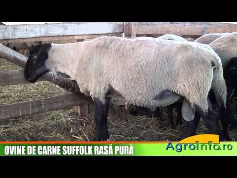 Ovine de carne Suffolk rasa pura