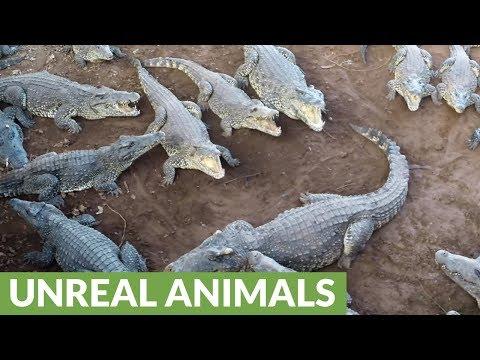 Giant crocodiles show their powerful jaws in feeding demonstration