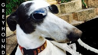 Greyhound Dog Breed - Facts About Greyhound Breed - A Tutorial By Cooking For Dogs
