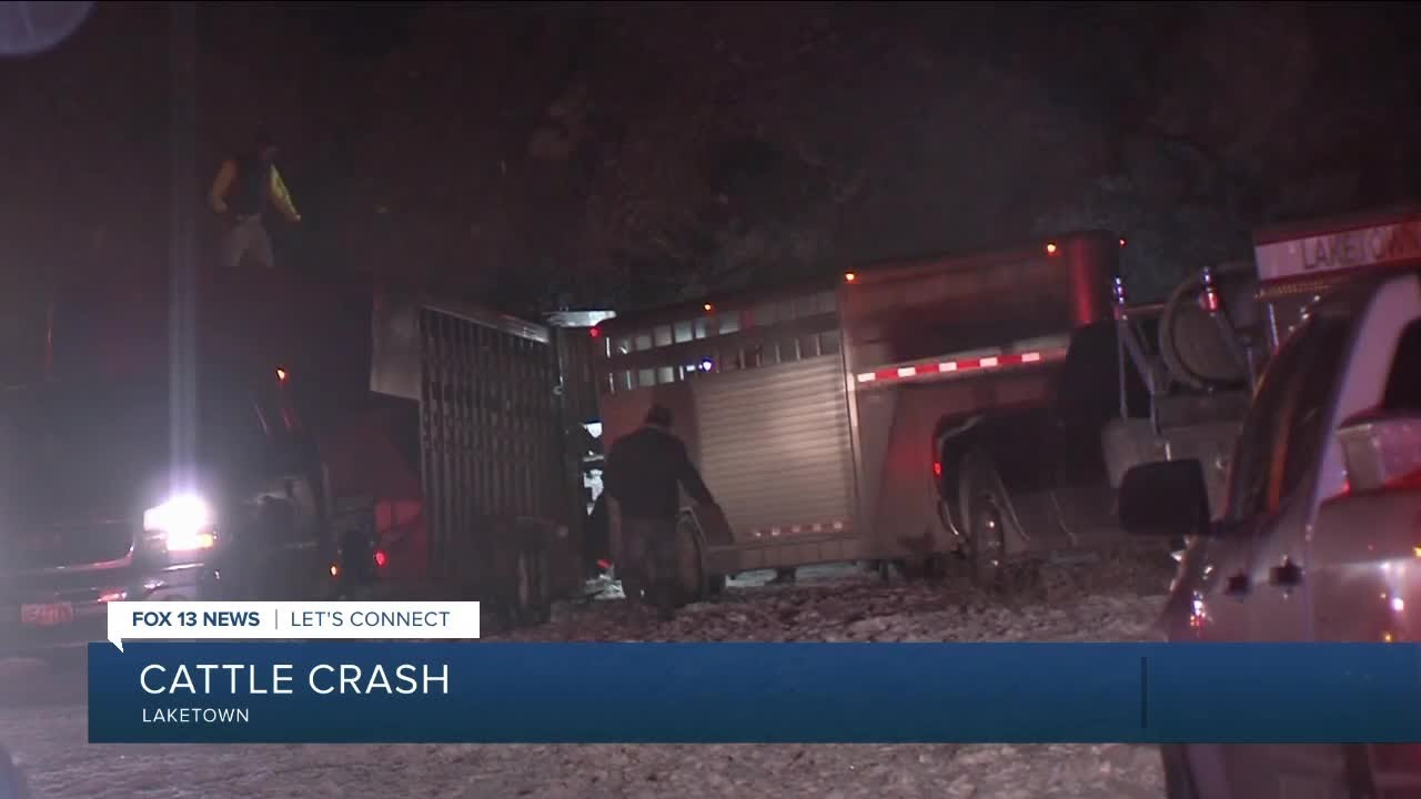Cattle truck rollover accident in Laketown