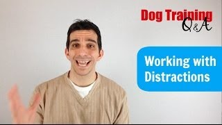Working With Your Dog Around Distractions