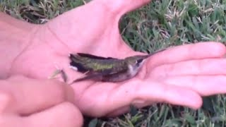 Hummingbird Saved from Gum | Don