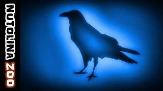 Raven sound effect / Verso del corvo / Cri corbeau
