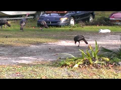 Cat attack,s Turkeys